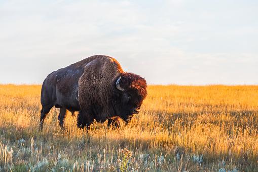 cloud「Bison (bison bison), Grasslands National Park」:スマホ壁紙(12)