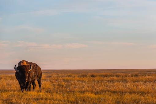 cloud「Bison (bison bison), Grasslands National Park」:スマホ壁紙(11)