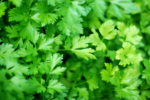 Parsley「Fresh ingredients : parsley」:スマホ壁紙(9)