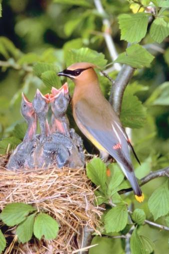 Waxwing「Bird with offspring in nest」:スマホ壁紙(8)