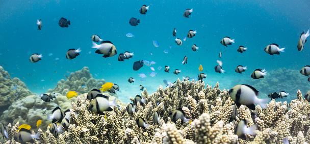 Andaman Sea「Shoal of Indian Damselfish (Dascyllus cameus) on Fragile Staghorn Coral (Acropora), Koh Haa Islands, Krabi, Andaman Sea, Thailand.」:スマホ壁紙(12)
