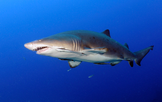 Remora Fish「Sand Tiger Shark with remoras in mid-water off coast of North Carolina.」:スマホ壁紙(6)