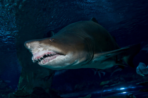Ecosystem「Sand Tiger Shark, Blue Zoo Aquarium, Beijing, China.」:スマホ壁紙(11)