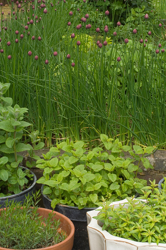 Tarragon「Herb garden」:スマホ壁紙(1)