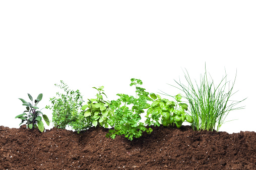Parsley「Herb Garden Seedling Plants Growing in Fresh Vegetable Gardening Dirt」:スマホ壁紙(13)