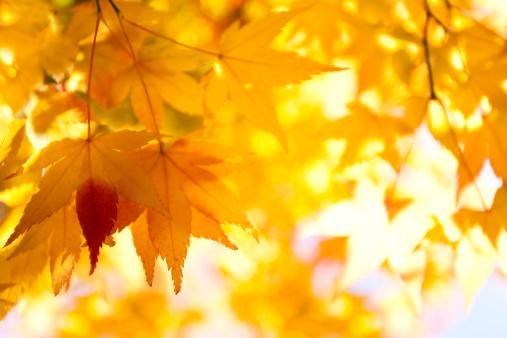 Japanese Maple「Autumn Yellow Leaves」:スマホ壁紙(0)