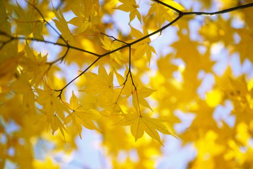 Japanese Maple「Autumn yellow leaves」:スマホ壁紙(11)