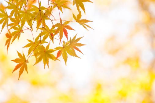 Japanese Maple「Autumn Yellow Leaves」:スマホ壁紙(5)