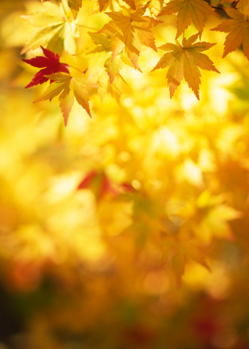 Japanese Maple「Autumn yellow leaves」:スマホ壁紙(10)