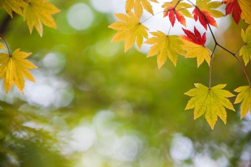 Japanese Maple「Autumn Yellow Leaves」:スマホ壁紙(1)