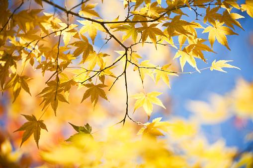 かえでの葉「秋黄色の色」:スマホ壁紙(10)