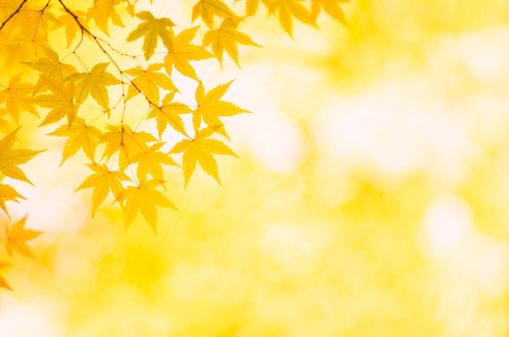 Japanese Maple「Autumn Yellow Colors」:スマホ壁紙(12)