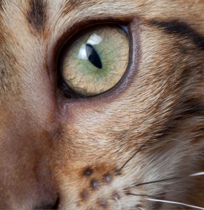 ベンガル猫「Close-up Eye of Bengal Cat」:スマホ壁紙(9)