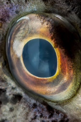 Iris - Eye「Close-up eye of a large fish」:スマホ壁紙(2)
