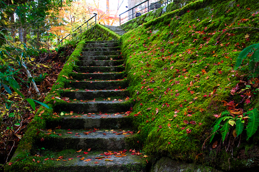 Japanese Maple「Okutsu gorge, Okayama Prefecture, Honshu, Japan」:スマホ壁紙(5)