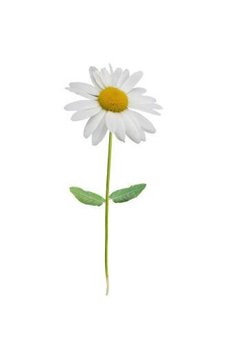 Marguerite - Daisy「Isolated white daisy」:スマホ壁紙(8)