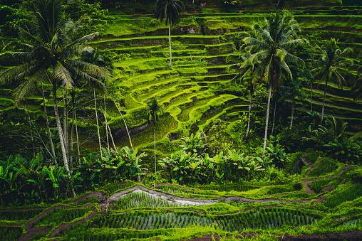 バリ島「日の出中に棚田の朝の景色」:スマホ壁紙(6)