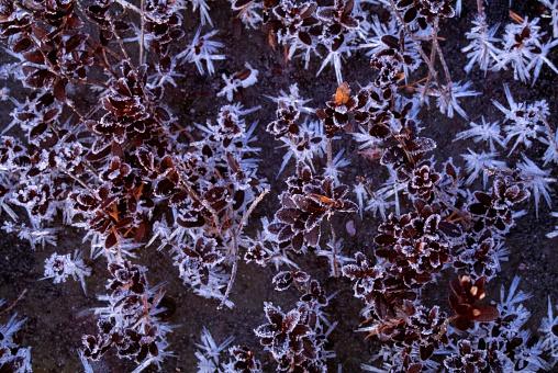 Choosing「Frosted Leaves」:スマホ壁紙(2)
