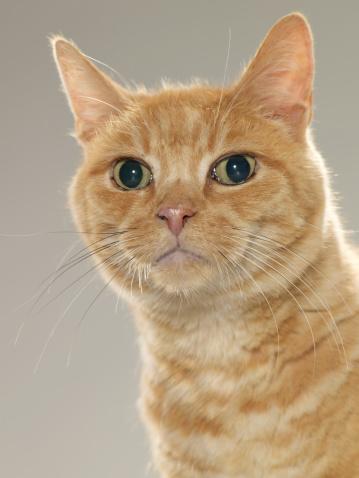 トラ猫「ジンジャー tabby 猫のポートレート(クローズアップ)」:スマホ壁紙(10)