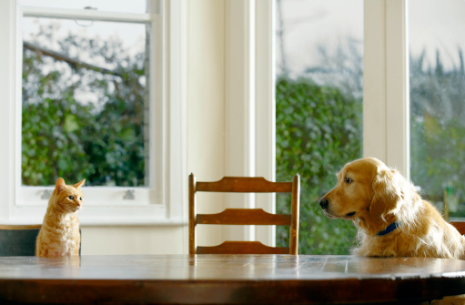 Domestic Animals「Ginger tabby cat and golden retriever sitting at dining table」:スマホ壁紙(1)