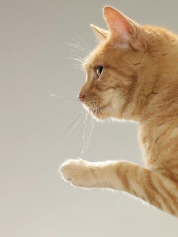 Three Quarter Length「Ginger tabby cat raising paw, close-up, side view」:スマホ壁紙(2)