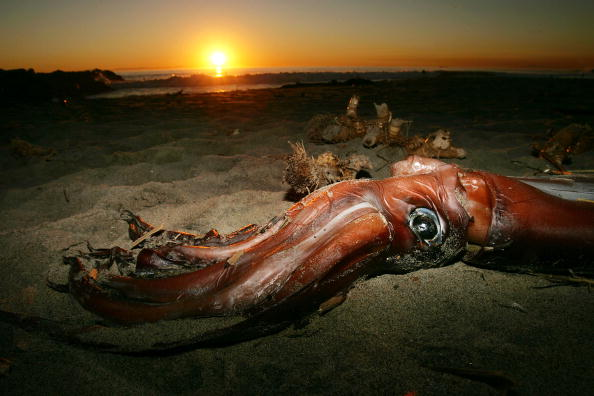Underwater「Giant Squid Mysteriously Wash Up On California Beaches」:写真・画像(18)[壁紙.com]