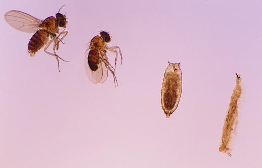 Life Cycle「Fruitfly (Drosophila melanogaster) Life Cycle」:スマホ壁紙(19)