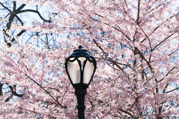 Streetlight stands in front of Cherry blossoms in Central Park New York.:スマホ壁紙(壁紙.com)