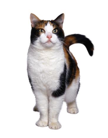 Mixed-Breed Cat「Standing Cat」:スマホ壁紙(15)