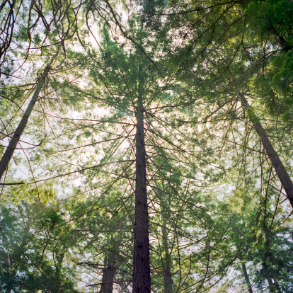 Big Sur「Sunny sky through trees in forest」:スマホ壁紙(14)