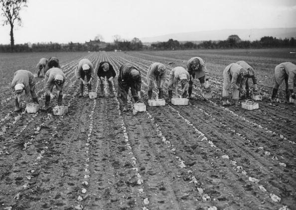 Planting「Lettuce Land Girls」:写真・画像(1)[壁紙.com]
