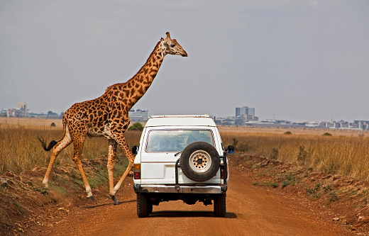 Giraffe「Giraffe crosses dusty road in front of white car」:スマホ壁紙(7)