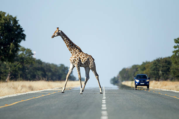Giraffe Crossing Highway, Kasane, Botswana:スマホ壁紙(壁紙.com)