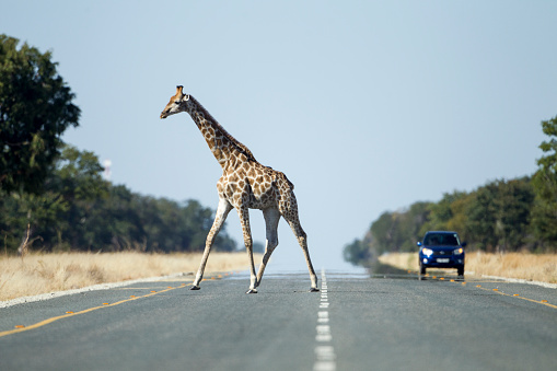 Giraffe「Giraffe Crossing Highway, Kasane, Botswana」:スマホ壁紙(9)