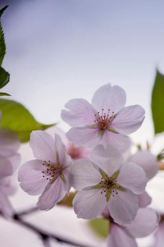 Yoshino Cherry「Three Cherry Flowers」:スマホ壁紙(16)