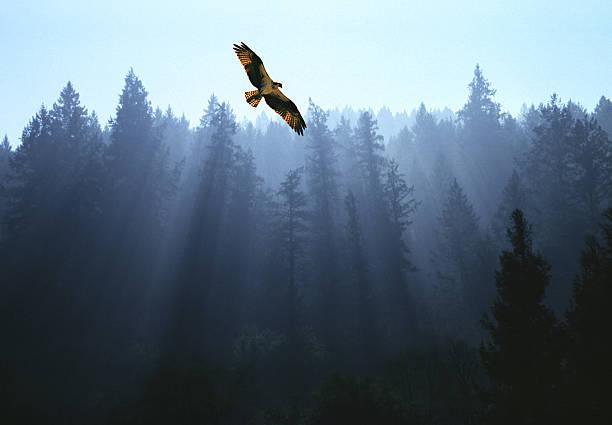 Osprey flying above fir trees with sunrays streaming through mist:スマホ壁紙(壁紙.com)