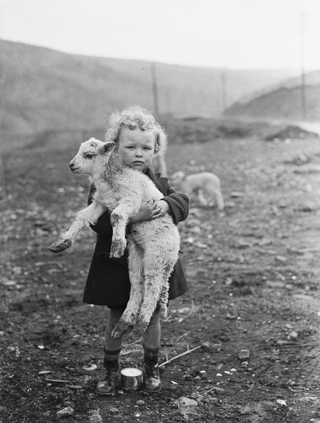 動物「Wee Pet Lamb」:写真・画像(10)[壁紙.com]