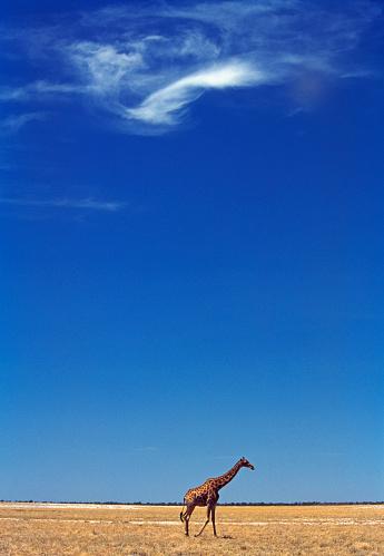 Giraffe「Etosha National Park, a giraffe」:スマホ壁紙(14)