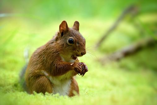 リス「Eating Eurasian red squirrel, Sciurus vulgaris」:スマホ壁紙(18)