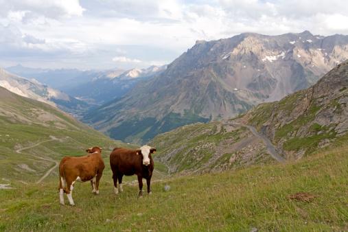 Savoie「France, Rhone-Alpes, Savoie, cows grazing atop Col du Galibier」:スマホ壁紙(16)