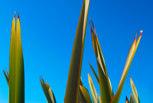New Zealand Culture「Harakeke backlit by Evening Sun」:スマホ壁紙(10)