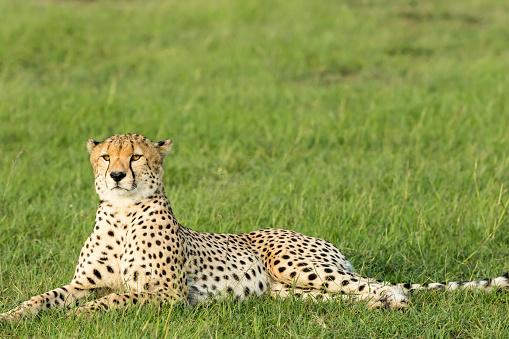 African Cheetah「Cheetahs Resting at wild」:スマホ壁紙(1)