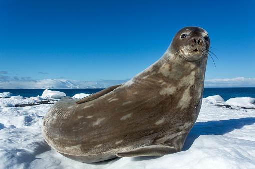 Sub-Antarctic Islands「Weddell seal on Deception Island, Antarctica」:スマホ壁紙(18)