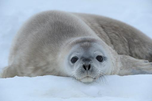 Pack Ice「Weddell Seal, Leptonychotes weddelli, lying on ice, Snow hill island, Weddel Sea, Antarctic Peninsula, Antarctica」:スマホ壁紙(3)