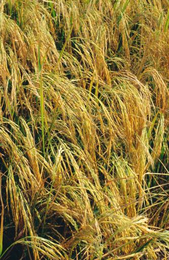 Basmati Rice「Basmati rice almost ready to harvest.」:スマホ壁紙(12)