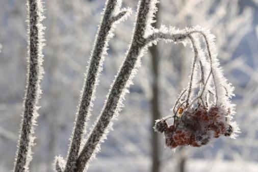 Rowanberry「Berries growing on tree branch in winter」:スマホ壁紙(1)