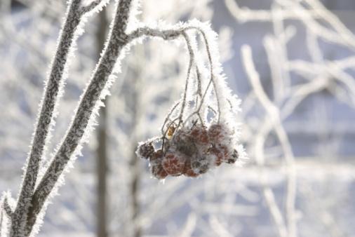 Rowanberry「Berries growing on tree branch in winter」:スマホ壁紙(13)