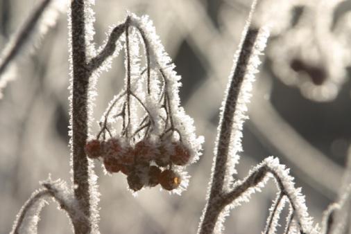 Rowanberry「Berries growing on tree branch in winter」:スマホ壁紙(0)