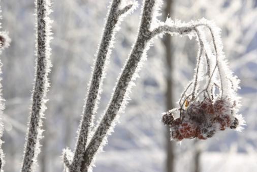 Rowanberry「Berries growing on branch in winter」:スマホ壁紙(3)