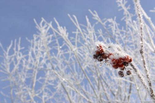 Rowanberry「Berries growing on branch in winter」:スマホ壁紙(14)